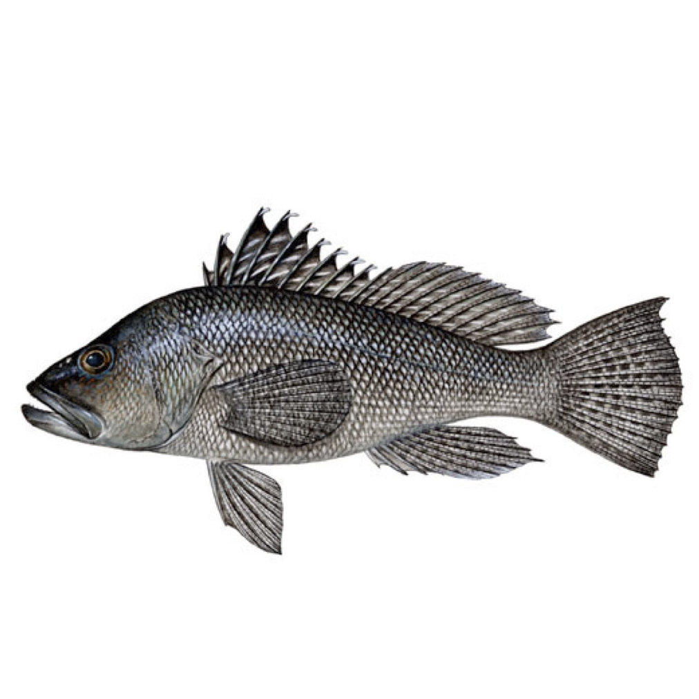 Black sea bass gulf of mexico foto bugil bokep 2017 for Salt fish head