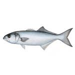 Bluefish Charters in Hilton Head, SC