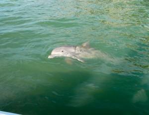 hilton head dolphin