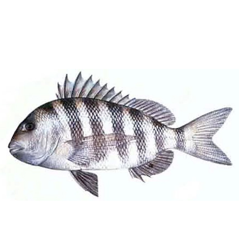 Coastal Saltwater Fishing Guide for Hilton Head, South ...Saltwater Sheepshead Fish Good To Eat