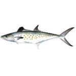 Spanish Mackerel fishing charters in Hilton Head, SC