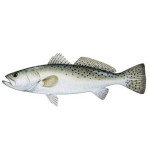 Speckled Trout Charters for Hilton Head