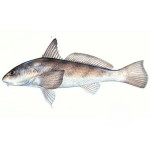 Whiting Fishing Charters in Hilton Head, SC