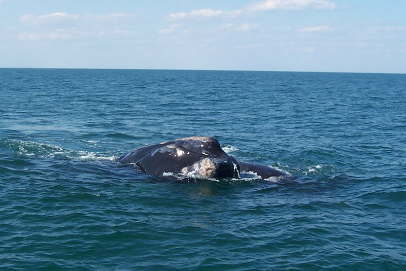 right-whale3