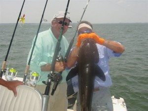 45 pound cobia - sight fishing
